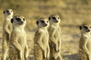 Meerkat Manor by Chad Henning/Animal Planet